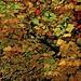 Tulipier de Virginie : automne