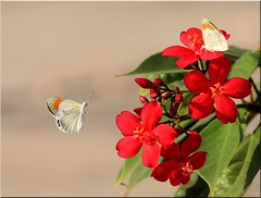 orange tip butterflies (ammadoux) Tags: thegalaxy rememberthatmomentlevel4 rememberthatmomentlevel1 rememberthatmomentlevel2 rememberthatmomentlevel3 rememberthatmomentlevel5