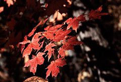 red (Barbara.K) Tags: autumn red fall colors maple shadows dof foliage canon500d canonefs60mm differentialfocus eos500d canonrebelt1i