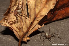 Loxosceles reclusa (Brown Recluse) (Andrew Hoffman) Tags: brown animal photography spider wildlife arachnid indiana andrew recluse hoffman venomous arachnida invertebrate venom invertebrata reclusa necrotic loxosceles sicariidae