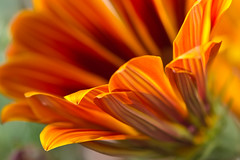 Orange Gazania 44/52  Theme: Orange (Leonemoff) Tags: flowers macro lens nikon mm 105 vr simplyflowers nikond3100 52weeks2012 nikonmacrovr105mmlens
