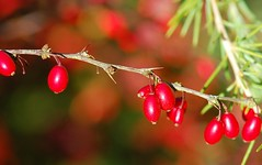 Berry bokeh (Fletty Flicks) Tags: autumn england plants nature stem october berries bokeh thorns needles wiltshire mygarden conifer berberis wheretheladybirdslive
