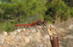 liveloula (gdasko) Tags: mountain dragonfly insects greece wildflowers ymittos