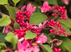 close-up shot of pink flower and berries (people12rickar) Tags: pink flowers summer flower nature leaves fauna outdoors photography stem berry flora day berries blossom nobody nopeople fresh petal growth bloom delicate botany fragile freshness flowerhead flowerpetal colorimage fragility beautyinnature