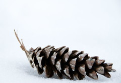 snow cone (chiligirlll) Tags: winter duck nikon newengland pinecone d80