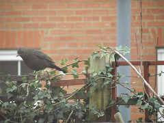DSCF1799 (MustLoveCartoons) Tags: uk bird nature birds female wildlife turdusmerula blackbird eurasianblackbird commonblackbird