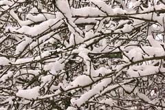 Snowy apple branches (Jamie McMillan) Tags: christmas winter snow village snowytrees snowscene christmassnow englishvillage snowyroad snowybranches dorsetvillage briantspuddle snowylane hollowlane villageinwinter