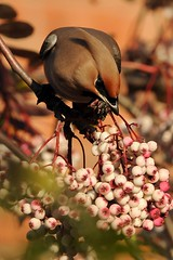 """Waxwing (DaveChapman """"If it flies,I shoot it"""") Tags: bird birds berry berries feeding perch perched waxwing waxwings migrate shroopshire"""