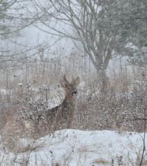 January Snow 2013 (Tony Steele,Oxford,UK) Tags: roedeer nikond90 oxfordsnow burgessfieldnaturepark burgessfieldnatureparkoxford tonysteelephotography januarysnow2013 oxfordsnowjanuary2013 oxfordsnow2013