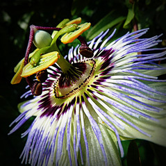 passion flower - flor da paixo - flor de la pasin (jjamv) Tags: flowers plant flores flower macro green nature closeup garden purple vine passion passiflora macros passionflower passionfruit photomix passionvine flordapaixo flordelapasin passifloravitifolia flowersarebeautiful excellentsflowers mimamorflowers flickrflorescloseupmacros thebestofmimamorsgroups jjamv vpu1 julesvtravel bestevercompetitiongroup creativephotocafe flowerthequietbeauty besteverdigitalphotography vigilantphotographersunite vpu2 vpu3 vpu4 vpu5 vpu6 vpu7 vpu8 vpu9 vpu10 vpu20xl10awards