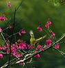 F_DSC0308-灰喉山椒-Pericrocotus solaris-母-Female-鳥-Bird-羽-Feather-翼-Wings-台灣山櫻-Cherry Blossom-瑞里-Reili Village-嘉義縣-Chiayi County-台灣-Taiwan-中華民國-Rep of China-Nikon D800E-Nikkor 28-300mm-May Lee 廖藹淳 (May-margy) Tags: bird female wings feather taiwan cherryblossom 台灣 母 鳥 瑞里 中華民國 pericrocotussolaris 羽 翼 chiayicounty 嘉義縣 repofchina 灰喉山椒 台灣山櫻 maymargy nikkor28300mm nikond800e 廖藹淳 reilivillage