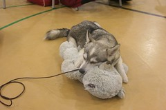 Stark taking a nap (Whosker) Tags: cute husky teddy adorable kai klee alaskan minihusky alaskankleekai