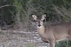 """Doe in brush • <a style=""""font-size:0.8em;"""" href=""""http://www.flickr.com/photos/77680067@N06/8433904738/"""" target=""""_blank"""">View on Flickr</a>"""