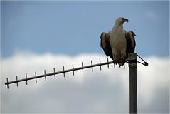 Media Control (audiodam) Tags: australianbirds australianwildlife whitebelliedseaeagle