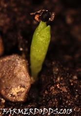 Trichocereus peruvianus 'Tarma', [frosted stem, brown sp] (farmer dodds) Tags: cactus cactaceae mescaline tarma trichocereus trichocereusperuvianus