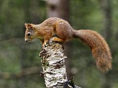 Red Squirrel (Sciurus vulgaris) Flatanger Norway (cdmoreear) Tags: red norway squirrel nor vulgaris nordtrondelag sciurus flatanger