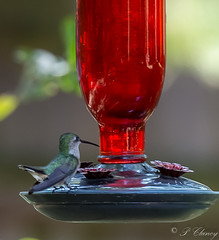 Getting ready for breakfast (_patclancy56) Tags: hummingbird