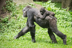 2016-07-11-09h42m25.BL7R5827 (A.J. Haverkamp) Tags: canonef100400mmf4556lisiiusmlens duisburg nordrheinwestfalen germany westelijkelaaglandgorilla gorilla momo dob03061982 pobstuttgartgermany ayo dob27052015 pobduisburggermany zoo dierentuin httpwwwzooduisburgde