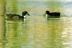 patos3 (Eneko Castresana Vara) Tags: patos ducks