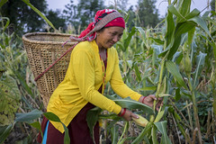 Farmer Devi Maya Pun harvests maize grown together with sunflower and green beans in the same field in Bageshori, Banke. (CIMMYT) Tags: nepal csisa cimmyt maize agriculture smallholder farmer mechanization asia