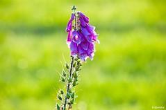 15072016-_DSC0073 (vidjanma) Tags: digitale fleur