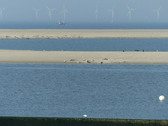 Seals on the sand banks naar the island of Borkum. (Michiel Thomas) Tags: seal selas zeehond zeehonden seehund borkum instel eiland duitsland