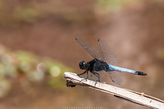 Landed (imtiazchaudhry) Tags: dragonfly insect wings fly stick rest landed macro closeup beautiful colorful