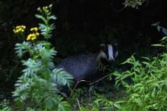 Le blaireau du soir (3200 iso) (Phil du Valois) Tags: blaireau faune sauvage fort compigne wild wildlife free libre domaniale