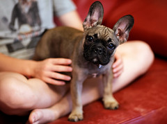 New family member (Guillaume DELEBARRE (Guigui-Lille)) Tags: puppy dog bouledogue bulldog frenchbulldog bouledoguefranais expression canon mignon cute chien chiot expressif puppies