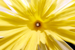 Stamen of Yellow Flower (Johnnie Shene Photography(Thanks, 1Million+ Views)) Tags: yellow flower flora floral front view stamen macro closeup magnified adjustment halflength bright luminosity centric photography horizontal outdoor colourimage fragility freshness nopeople foregroundfocus interesting extreme beautiful wonder awe spring day nature natural wild wildlife daffodil polyanthus canon eos600d rebelt3i kissx5 tamron 90mm f28 11 lens