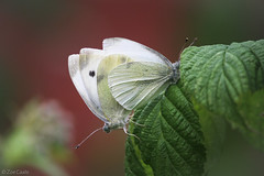 Small whites mating on a raspberry bush (ζoetrope) Tags: bigbutterflycount garden butterflies butterfly