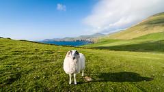 Ich nenn' es Shawn (YaYapas) Tags: dinglepeninsula dinglehalbinsel sheep d7100 coumeenoole 11mm irland schaf tokina1116 dingle countykerry ie