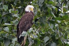 Mama Keeping Watch (shesnuckinfuts) Tags: americanbaldeagle haliaeetusleucocephalus baldeagle eagle riverbendeagles mom female kentwa shesnuckinfuts august2016 nature wildlife bird birdofprey