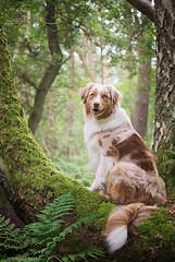 Fly (Australian Shepherd) (Aileen Rese) Tags: hund tier dog aussie australianshepherd redmerle sheepdog shepherd moos baum dschungel jungle brggen brachterwald farn fern moss green nikond80 nikkor35mm