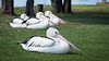 4 of a kind (Mariasme) Tags: pelicans wildlife nsw birds tuggerahlake cy2