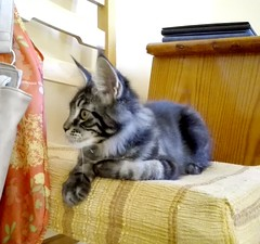 Baloo my Kitty Maine coon (romeosilverpersian) Tags: mainecoonkitten mainecooncat mainecoon kitty kittens gattini gatti cats