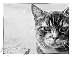 (#3.111) Katzen - AugenBlicke (unicorn 81) Tags: animal animals mycat cat katze hauskatze animale cats kat gatto gato getigert haustiger schmusetiger haustier stubentiger tier katzen hauskatzen katzeminka