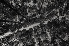 Trees (Marcos Jerlich) Tags: tree bw contrast blackandwhite road monochrome light naturallight nature naturaleza flickr brazil lightroom canon canon700d canont5i marcosjerlich