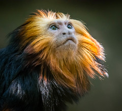 DSC_4528-1 (craigchaddock) Tags: cilantro goldenheadedliontamarin parkeraviary sandiegozoo endangeredspecies leontopithecuschrysomelas goldenheadedtamarin tamarin newworldmonkey monkey