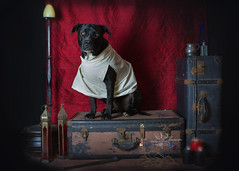 Dobby is free (goodgirlbetty) Tags: hap harry potter cosplay pet portrait dressup amsta amstaff staffy bully breed studio