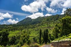 Tea Fields (Hany Mahmoud) Tags: tea fields green srilanka travel explore morning asia clouds trees sinshine nature landscape