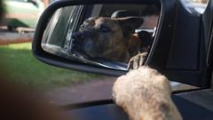 a dog's daydream (mollywhitelock) Tags: dog car window mirrow reflection