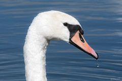 Mute swan (Shane Jones) Tags: muteswan swan bird water beak wildlife nikon d500 200400vr