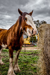 Clydesdale (Glen Turns) Tags: horse clydesdale farm animal australia
