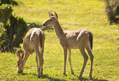 DSC_1626 (Angel Cher ) Tags: fawn whitetailed deer