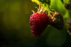 Raspberry (Peter Quinn1) Tags: raspberry sheffield bokeh backlit fruit ripe autumn garden