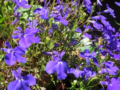 Blue Lobelia Flowers. (dccradio) Tags: duane ny newyork franklincounty adirondacks adirondackmountains longpond plant plants flower flowers floral gardening nygardening bluelobelia blue purple