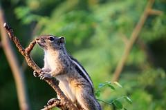 Have a great weekend friends :) (ragams) Tags: sciuridae squirrel funambuluspalmarum indianpalmsquirrel threestripedpalmsquirrel singingsquirrel