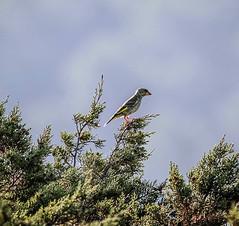 IMG_6504 (ibzsierra) Tags: ibiza eivissa baleares canon 7d 2100400 is usm ave bird pajaro oiseau salinas parque natural