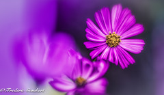 the world in pink (frederic.gombert) Tags: flower sun light flowers cosmos sunlight plant garden summer spring pink macro color colors colorful nikon d810 macrodreams